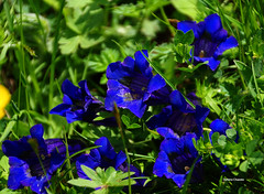 Genziane (stefano.chiarato) Tags: fiori flowers natura naturalmente genziane pentax pentaxlife pentaxk70 pentaxart lombardia italy valdiscalve