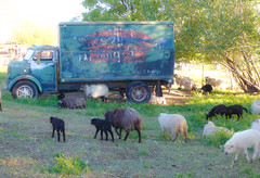 Sheep (ex_magician) Tags: sheep roadtrip artistsremotenevadaranchoasis cedarville california nevada airbnb desert warnermountains moik photo photos picture pictures image interesting modoccounty