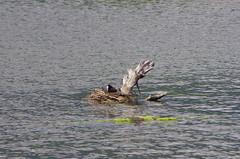 633 - Bastia au bord de la lagune (paspog) Tags: bastia lagune corse pouledeau corsica france mai may 2018 nest nid