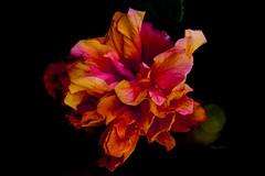 Explosion... (Kendar Creatives) Tags: flower macro color nature onblack black earthy yellow pink red orange bright vase bouquet dahlia water 7dwf australia