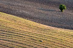 tra terra e paglia (luporosso) Tags: natura nature naturaleza naturalmente nikon nikonitalia nikond500 scorcio scorci country countryside campagna campi terra land heart plowedland albero tree paglia straw