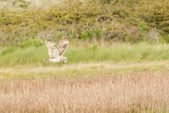 Short Eared Owl hunting (ejwwest) Tags: hampshire farlington portsmouth birds asioflammeus owl langstone solent england unitedkingdom gb