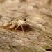 A Ledra aurita nymph.. (Who needs a name?) Tags: cicadellidae ledrinae aurita kent jj nature bus camouflage ledraaurita