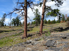 Two Trees (Drew Makepeace) Tags: tree ponderosa pin conifer