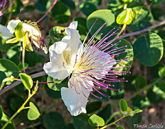 Caper Flower (tinlight7) Tags: caper flower bush wildflower white tarsus turkey mediterranean