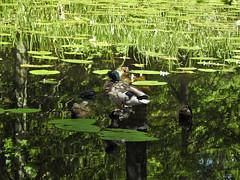 Mallard - Gräsand (ovehbg) Tags: mallard duck bird allingsås gräsand