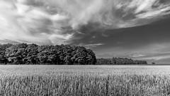 ile 2018-115a (Tasmanian58) Tags: field wheat bw blackwhite batis18 batis zeiss sony a7ii quebec canada « orleans island »