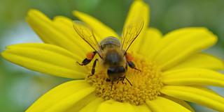 honey bee on corn marigold (Glebionis segetum) 2/3 (explored}