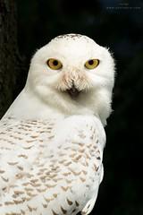Snowy Owl Portrait (www.jessfindlay.com) Tags: snowyowl buboscandiacus wwwjessfindlaycom jessfindlayphotography jessfindlay owl birds birdsofprey