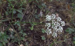 Pimpinella major (Greater Burnet-Saxifrage), flower umbel & upper leaves, School Lane, Bricket Wood, Herts, 8.8.18 (respect_all_plants) Tags: greaterburnetsaxifrage pimpinellamajor schoollane bricketwood herts hertfordshire wildflowers