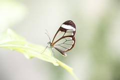 Greta oto (fabriciodo2) Tags: gretaoto papillon nature butterfly macro tamron90