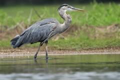 Great blue heron (Bird-guy) Tags: greatblueheron heron ardeaherodias lakepeachtree peachtreecitygeorgia
