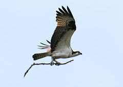 (EJMphoto) Tags: osprey bird stick nest nesting flight flying patuxentresearchrefuge maryland