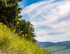 (Jim Frazier) Tags: 2018 201807montana 201807yellowstone beautiful beauty bloom blooming blossoming blossoms bluesky burgeoning burgeons closeupclose up upmacrodetail flora floral flourishing flowering flowers gardening gardens grass grasslands growing hillsides jimfraziercom july landscape meadows mountains mountainsides nationalpark natural nature nps plants prairies q3 rockymountains scenery scenic summer sunny vacation wildflowers wyoming yellow yellowstone