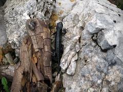 Planinski močerad / Alpine salamander (Damijan P.) Tags: hribi gore mountains hiking slovenija slovenia ksa kamniškosavinsjkealpe kamniksavinjaalps velikivrh velikazelenica križevnik prosenak