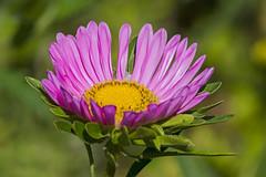MS Bot Garten 05082018 044 (Dirk Buse) Tags: münster nordrheinwestfalen deutschland deu nrw flora germany blüte natur nature outdoor color farbe colour mft m43 mu43