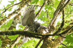 06262018Barred Owl Young FU5A6138 (Steven Arvid Gerde) Tags: barred owl