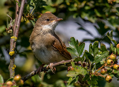 DSC8874  Whitethroat.. (jefflack Wildlife&Nature) Tags: whitethroat warbler warblers birds avian animal animals summermigrant wetlands countryside coastalbirds glades gorse copse heathland hedgerows heathlands moorland meadows marshland songbirds nature