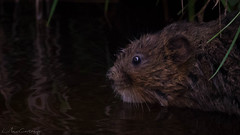 Wild Water Vole (Arvicola amphibius) (*LaurenMcCartney*) Tags: water vole green brown mammal rat rare endangered wild wildlife animal canon light reflect grass