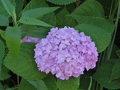 Chicago, Lincoln Park Zoo, Pink Hydrangea Flowers (Mary Warren 11.3+ Million Views) Tags: chicago lincolnparkzoo nature flora plant pink blossoms blooms flowers