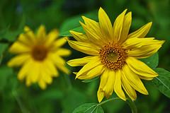 DSC_3269 (russellgriffin1) Tags: yellow yellowflowers sunflowers flowers florals floralphotography flowergarden garden gardening summer