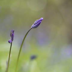 L'intelligence des fleurs * (Titole) Tags: shallowdof titole nicolefaton squareformat bluebells