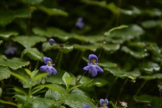 Platystemma violoides (1)