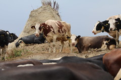 Hight in the  wind , for the Coolnes (excellentzebu1050) Tags: dairycows cattle cow livestock farm farmer outdoor animal animals drought summer2018 coth5
