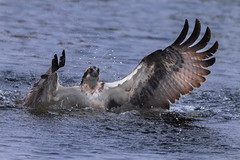 The victory!.. (Mustafa Kasapoglu) Tags: red osprey mandionhaliaetus eagle fisheagle nikon500mmf4 trout prey kuusamo finland birds birdphotography bird birdwatching birding nature