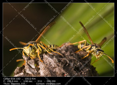 Wasps (Polistes bischoffi) (__Viledevil__) Tags: allergic animals antenna black closeup danger dangerous detail fly insect macro nature pest poisonous small sting stinger warning wasp wild wing yellow polistes animal bischoffi chiclana cádiz españa