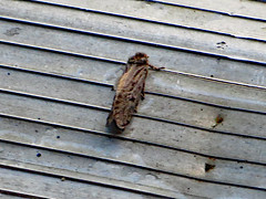 Moth In The Doorway. (dccradio) Tags: lumberton nc northcarolina robesoncounty outdoor outdoors outside doorway doorstep line lines wingedcreature moth miller nightcreature wings insect summer evening friday lateafternoon summertime brown brownhousemoth housemoth canon powershot elph 520hs