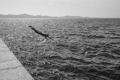 in Zadar (Werner Schnell Images (2.stream)) Tags: ws zadar adria mittelmeer meer sea wasser water sommer summer jump jumping sprung