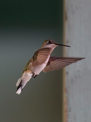 Hummingbirds000124-web (Frances Maas) Tags: hummingbird birds bruce peninsula tobermory ontario canada nature naturephotography birdphotography canonphotography brucepeninsula