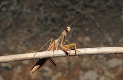 Praying Mantis (Mantis religiosa) (Nick Dobbs) Tags: praying mantis religiosa insect malta mantid