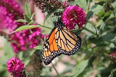 62/365/3714 (August 12, 2018) - Monarch Butterfly (Saline, Michigan) - August 12th, 2018 (cseeman) Tags: monarchbutterfly butterfly butterflybush saline michigan gardens bush purple orange monarch garden monarch08122018 2018project365coreys yearelevenproject365coreys project365 p365cs082018 356project2018