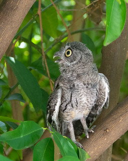 A look at one Western Screech Owlet1