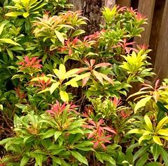 New growth (Keith Coldron) Tags: bush green colours pieris garden growth