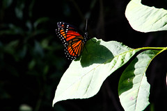 Butterfly (_Lionel_08) Tags: butterfly insect bug wings color colorful green orange canon rebel t5 300mm nature wild wildlife