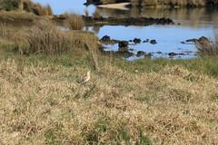 NZ Dotterel (christineNZ2017) Tags: ambury regional park amburypark birdsanctuary birdlife bird sanctuary southauckland auckland newzealand winter dotterel nz