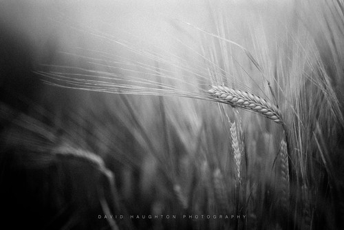 """Among the Fields of Barley • <a style=""""font-size:0.8em;"""" href=""""http://www.flickr.com/photos/110479925@N06/30220092228/"""" target=""""_blank"""">View on Flickr</a>"""