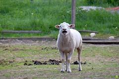 Baaa! BAAA! (petrOlly) Tags: europe europa slovensko slowakei słowacja sk2018 slovakia koliba nemecká animals animal zoo nature natura przyroda