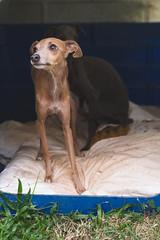 DSC_2130 (fábioparasmosánchez) Tags: dogs pets cute animals portraits eyes galgo italiano italian german shepherd adoption adopt
