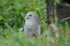 Snowy Owl (WpgWafna) Tags: zoo winnipeg assiniboineparkzoo assiniboinepark manitoba wildlife animal nature snowyowl