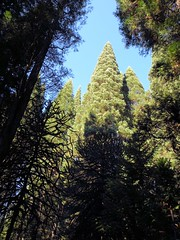 Looking Up ....... (PDX Bailey) Tags: tree pine sky blue green look up looking silhouette branch trunck bark cone forest