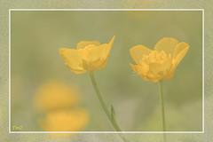 Douceur !! (thierrymazel) Tags: flowers boutondor bokeh pdc dof profondeurdechamp spring printemps blossom