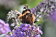 Beauty on the Buddleia. (pstone646) Tags: butterfly fauna flora insect wildlife animal nature bokeh closeup feeding pollination colours redadmiral