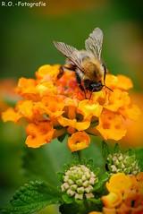 Biene / Bee (R.O. - Fotografie) Tags: biene bee natur nature outdoor outside blume flower bokeh rofotografie nahaufnahme closeup close up insekt insect panasonic lumix dmcgx8 olympus 60mm macro