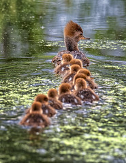 Ducks (Sally Harmon Photography) Tags: ducks merganser hooded mama ducklings