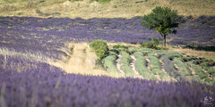 Paysage de Provence (MB*photo) Tags: france provence été wwwifmbch summer lavandin lavande champs paysage landscape canicule