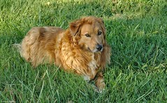 IMG_6241 (jeremy tekell) Tags: aussie australian shepherd mix mutt dog cute puppy emma